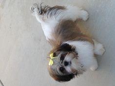 My neice Roxy. My sister's Shih-Tsu.