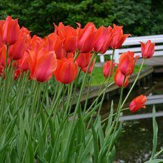 """Tulpe Temple's Favourite - """"Ihre Größe ist wirklich einzigartig. Wenn die Blüte sich bei schönem Wetter öffnet, ist ihr Durchmesser tellergroß. Es ist nicht die Art von Tulpe, die Sie in einem kleinen Garten neben der Haustür pflanzen sollten. In einem großen Garten hingegen kommt sie sehr gut zur Geltung."""" - Carlos van der Veek. Pflanzzeit: Herbst, als Blumenzwiebeln - online bestellbar bei www.fluwel.de"""
