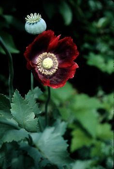 ~Papaver somniferum (Opium Poppy) ~Papaveraceae ~Traditional: Sumerians= paregoric for diarrhea ~Phytochem: papaverine, codeine, source of heroin and morphine ~Activity/MOA: papavarine= smooth muscle relaxant potentially for angina, intracavernosal sexu Exotic Flowers, Amazing Flowers, Wild Flowers, Flowers Gif, Growing Poppies, Belle Plante, Colorful Garden, Belleza Natural, Flower Pictures