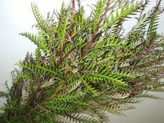 Grevillea foliage