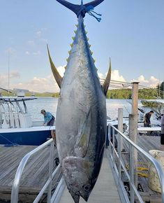 Stout one from down at weighed in at 108 lbs. Salt Water Fish, Salt And Water, Sport Fishing, Fishing Boats, Yellowfin Tuna, Offshore Fishing, Deep Water, Water Sports, Friday