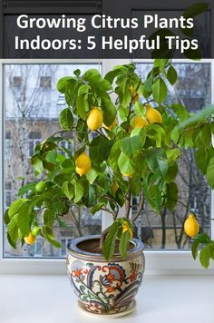 Growing Citrus Plants Indoors: 5 Helpful Tips