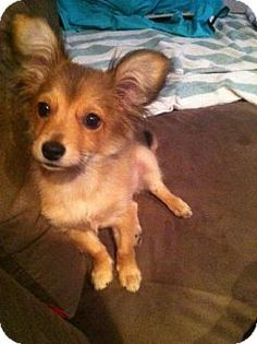 Lomita, CA - Welsh Corgi/Pomeranian Mix. Meet Mia, a dog for adoption. http://www.adoptapet.com/pet/13638834-lomita-california-welsh-corgi-mix