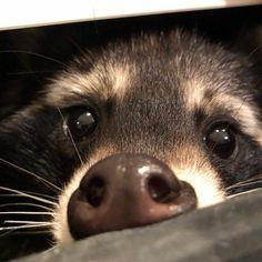 Диалоги Cute Little Animals, Cute Funny Animals, Cute Dogs, Fluffy Animals, Animals And Pets, Baby Animals, Beautiful Creatures, Animals Beautiful, Pet Raccoon
