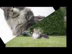 Cute Maine Coon Cats & Kittens Maine Coon Kittens, Cats And Kittens, Cute, Animals, Animales, Animaux, Kawaii, Animal, Animais