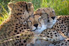 The cheetah is a large feline inhabiting most of Africa and parts of the Middle East. It is the only extant member of the genus Acinonyx I Love Cats, Big Cats, Big Cat Habitat, Asiatic Cheetah, Zoo Animals, Cute Animals, Cheetah Family, Clouded Leopard, Tier Fotos