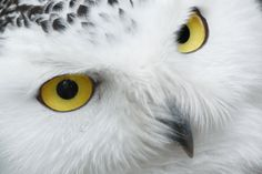 Items similar to Snowy Owl Face Big Yellow Eyes Close Up Arctic White Feathers Black Beak Northern Wildlife North Nature Macro Photography Photo Print on Etsy Big Yellow, Yellow Eyes, Owl Species, Eye Close Up, Owl Eyes, Owl Photos, Owl Pictures, Wise Owl, Snowy Owl