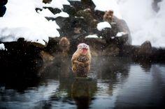 Snow monkeys - Kitsu
