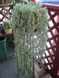 CACTUS Cacti Plant starts Aporocactus Flagelliformis by VtgPicker