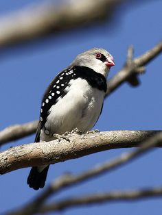 ♥ Diamond Firetail ~ (Stagonopleura guttata) The behavior is aggressive to other birds. They will kill other weak birds and that is why one should keep Grass finches with them.