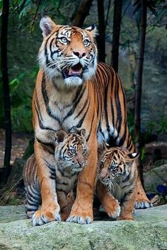 Tiger cubs and mommy tiger having a stroll - Raubtiere - Animals Cute Baby Animals, Animals And Pets, Funny Animals, Wild Animals, Royal Animals, Beautiful Cats, Animals Beautiful, Big Cats, Cats And Kittens
