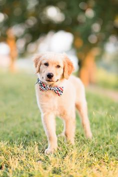 cute 12 week Golden Retriever puppy wearing bow tie, ©️️️Kam Goodrich Photography # via Golden Retriever Quotes, Dogs Golden Retriever, Retriever Puppy, Golden Retrievers, Aussie Puppies, Cute Puppies, Choosing A Dog, Husky Puppy, Dog Care