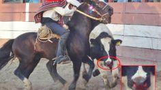 Chile Status: Ban  the rodeo  Estado De Chile: Que se prohíba el rodeo