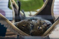 My little sleepyheads <3. Best pet? Degu mouse!