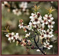 Kanuka flowers   :D