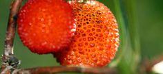 Yangmei – chińskie drzewo truskawkowe