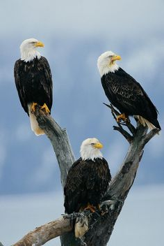 3 American bald eagles on old tree snag at Kachemak Bay, Homer, Alaska. MagicMurals #nature