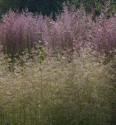 Deschampsia caespitosa 'Goldtau' (foreground), Calamagrostis 'Overdam'