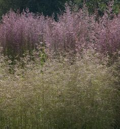 Deschampsia caespitosa 'Goldtau' (foreground), Calamagrostis 'Overdam'