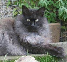 Black Smoke Norwegian Forest Cat (what Loki is).  This website has all the color variations of Skogkatts.