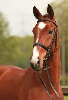 Campino, Gelding - German Horse Center