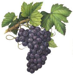 AF_Grapes.jpg (360×369)