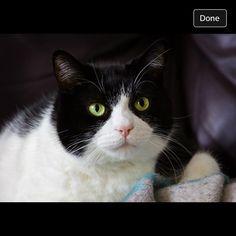 Patches Cat | Pawshake