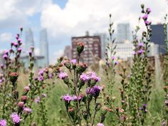 Plant of the Week: Northern blazing star | The High Line Blog