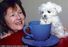 Tea cup pup.