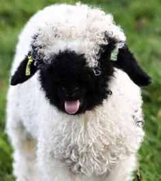 The valais blacknose is very well adapted to the harsh conditions of living in the high mountains, having an ability to graze even on the stoniest and the steepest slopes. Extreme weather conditions, which are often the case in the Valais alpine pastures, Baby Sheep, Cute Sheep, Baby Squirrel, Sheep And Lamb, Sheep Dogs, Super Cute Animals, Cute Baby Animals, Farm Animals, Fluffy Cows