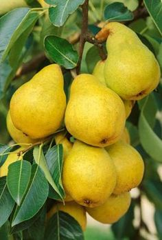 Pera Williams - William pear - A superb old variety, the fruit is large, sweet and very juicy. Fruit Plants, Fruit Garden, Fruit Trees, Fruit And Veg, Fruits And Vegetables, Fresh Fruit, Ripe Fruit, Pyrus, Vegetables Garden