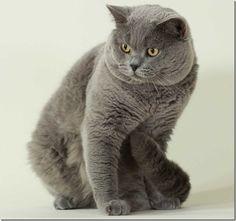 Британская короткошёрстная кошка фото