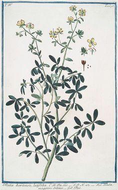Rue. Ruta hortensis, latifolia = Ruta maggiore Ortense = Rue. Hortus Romanus..1772-1793.   Flickr - Photo Sharing!