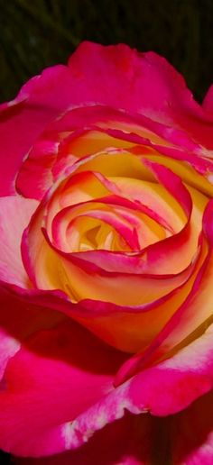 Roses yellow with red around the flower is amazing!!!!!!!