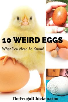 10 Weird Eggs — Got funky eggs? Abnormal chicken eggs happen to all of us - it's just a matter of time. Here's 10 weird eggs and everything you need to know. Raising Backyard Chickens, Keeping Chickens, Backyard Farming, Pet Chickens, Backyard Ducks, Bantam Chickens, Chicken Life, Chicken Feed, Chicken Eggs