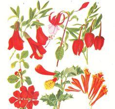 BOTANICAL PRINT  antique 1930's botanical by BrightonBeachBazaar, £7.00
