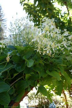 In Garden Style Blog — Tessa's Garden Sweet Autmn Clematis #castlehouseandgarden #sustainablegarden