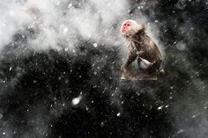 Credit: Jasper Doest/2013 Wildlife Photographer of the Year Creative visions winner: Snow Moment by Jasper Doest (The Netherlands) When photographing the famous Japanese macaques around the hot springs of Jigokudani, central Japan, Doest had become fascinated by the surreal effects created by the arrival of a cold wind. Occasionally a blast would blow through the steam rising off the pools. If it was snowing the result would be a mesmerising pattern of swirling steam and s…
