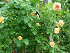 Uppåt väggarna på balkong och terrass − klätterväxter bäddar in dig i grönska och dofter! Foto: Katarina Kihlberg