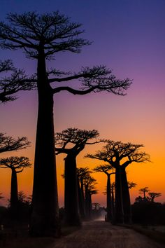 Giant Baobab, Madagascar. I'd name these trees GAIA. They look as if they're extending their arms to God and bathing in the sun!