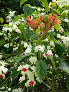 Clerodendrum thomsoniae Bleeding heart vine at Orchid World Barbados by garden muses-not another Toronto gardening blog