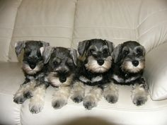 MINIATURE SCHNAUZER...THIS is the best breed EVER!!! Just look at this gorgeous litter!!!