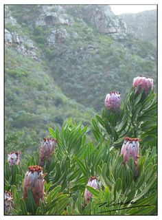 Travelling to South Africa with opens the door to amazing plant life. Cape Town South Africa, Out Of Africa, African Safari, Belleza Natural, Africa Travel, Trees To Plant, Wild Flowers, Planting Flowers, Nature