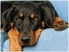 #Huntaway / New Zealand Sheepdog #Dog #Puppy