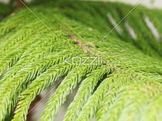 pine tree - Pine tree in a macro image