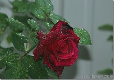 rose - Google Search
