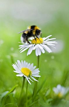 Nature on display - bee + daisy I Love Bees, Birds And The Bees, Foto Macro, Bee Art, All Nature, Spring Nature, Save The Bees, Belle Photo, Beautiful World