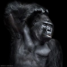 the champ by Wolf Ademeit on 500px #gorilla