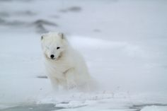Polar Fox by Maximilian Janson