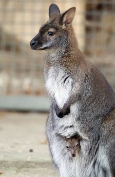 A baby kangaroo sits in the pouch of its mother at the zoo in Muenster, western Germany
